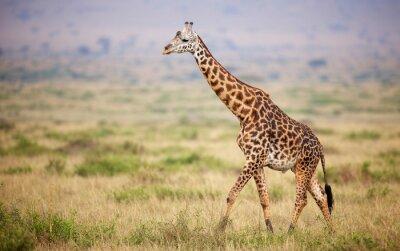 Väggdekor Giraff promenader i Kenya