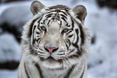 Väggdekor Glamour porträtt av en ung vit bengal tiger