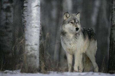 Väggdekor Grå varg, Canis lupus