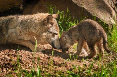 Väggdekor Grå Wolf (Canis lupus) Mor och Pup Touch Utanför Den
