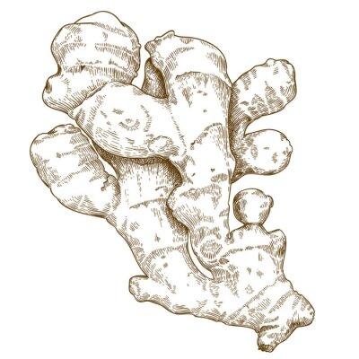 Väggdekor gravyr illustration av ingefära