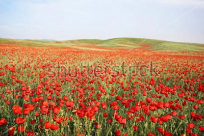 Väggdekor green and red beautiful poppy flower field background