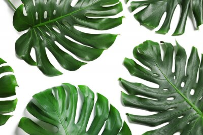 Väggdekor Green fresh monstera leaves on white background, top view. Tropical plant