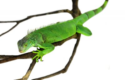 Väggdekor Green Iguana isolerad på vitt med klippning