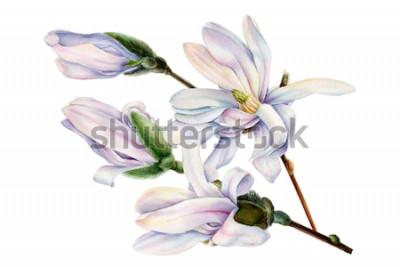 Väggdekor gren av vårmagnoliablommor på en isolerad vit bakgrund, akvarellillustration, botanisk målning