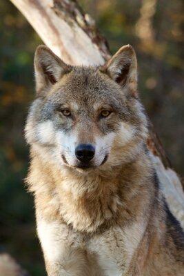 Väggdekor Grey Wolf - Canis lupus
