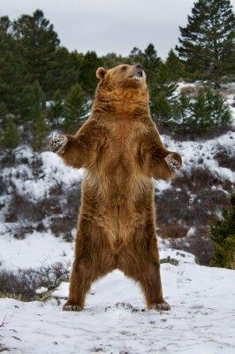Väggdekor Grizzly björn