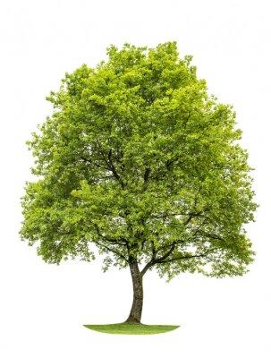 Väggdekor Grön ek isolerad på vit bakgrund. natur objekt