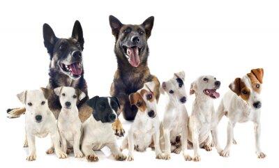 Väggdekor grupp av jack russel terrier och malinois