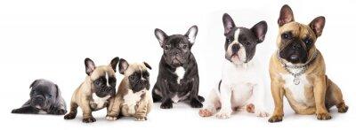 Väggdekor Grupp franska bulldoggar alla åldrar framför vit bakgrund