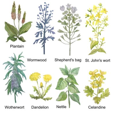 Väggdekor Hand-drawn watercolor medicinal forest and meadow herbs. Plantain, wormwood, shepherd's bag, St. John's wort, motherwort, dandelion, nettle and celandine isolated on white background.