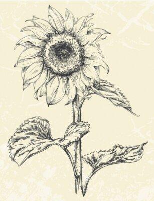 Väggdekor Handritad solros med blad ans stem isolerade på texturerad bakgrund