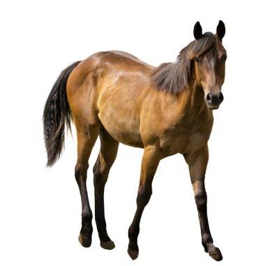 Väggdekor häst Isolerad
