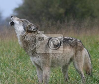 Väggdekor howling Wolf