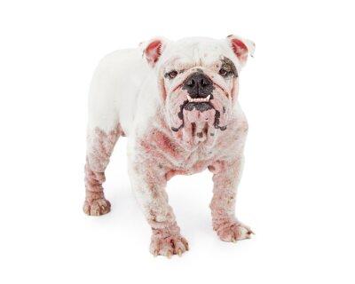 Väggdekor Hund med Demodectic Mange