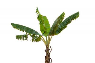 Väggdekor Isolated banana tree on white background.