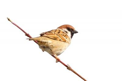 Väggdekor isolerad manlig Sparrow på kvist