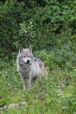 Väggdekor Kvinnlig grå varg i en öppen äng nära Golden, British Columbia