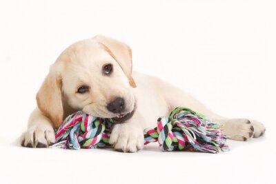 Väggdekor Labrador valp bita i en färgad leksak