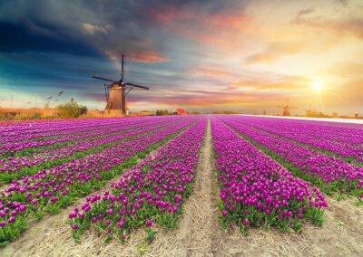 Väggdekor Landskap med tulpaner, traditionella holländska väderkvarnar och hus nära kanalen i Zaanse Schans, Nederländerna, Europa
