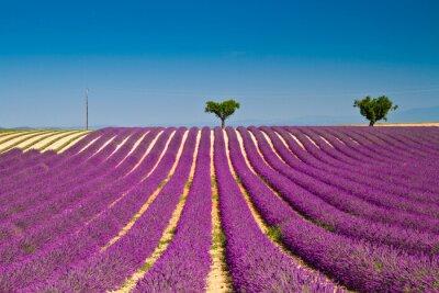 Väggdekor Lavendel blomma blommar doftande fält