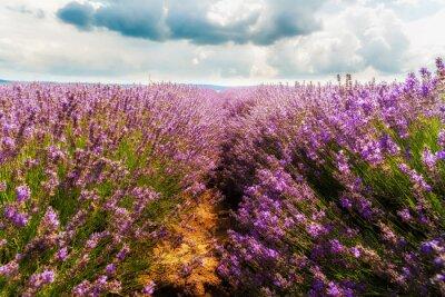 Väggdekor lavendel fält, Plateau de Valensole, Provence, Frankrike