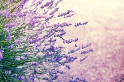 Väggdekor Lavendel i vild, tonad
