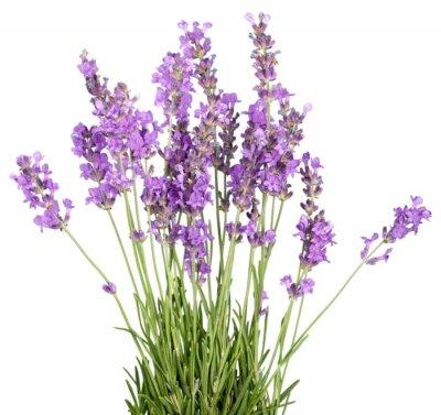 Väggdekor Lavendel, lavendel Färgad, blomma.