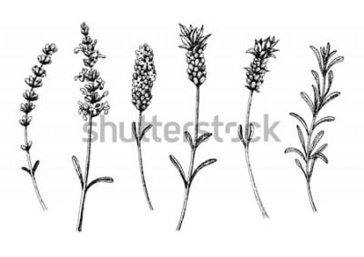 Väggdekor Lavendelblommorna av vilda och kultivarer. Blommig uppsättning för vintage. Bläck handritad skiss. Vektorillustration.