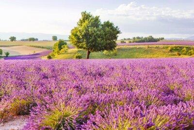 Väggdekor Lavendelfält i Provence, Frankrike nära Valensole på solnedgången