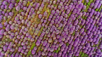 Väggdekor Lavender field aerial view. Top view.