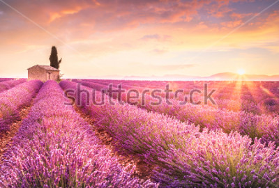 Väggdekor Lavender fields at sunrise near Valensole, Provence, France