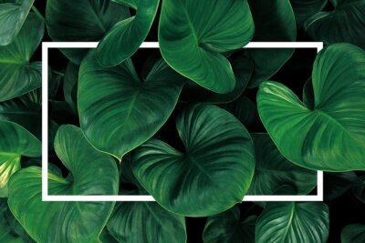 Väggdekor Leaf pattern nature frame layout of heart shaped green leaves Homalomena tropical foliage plant on dark background with white frame border.