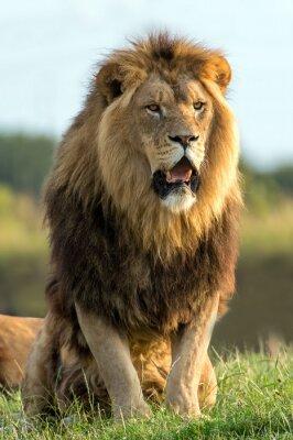 Väggdekor lejon