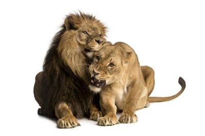 Väggdekor Lejon och lejoninna gosa, liggande, Panthera leo, isolerat
