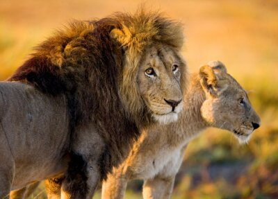 Väggdekor Lejon och lejoninna på savannen. Zambia.