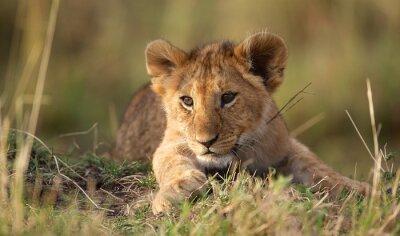 Väggdekor lejon unge