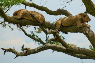Väggdekor lion 6