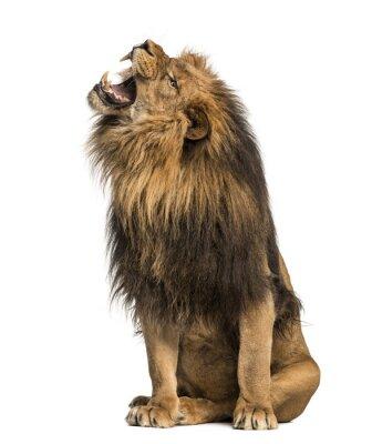 Väggdekor Lion mycket, sittande, Panthera Leo, 10 år gammal, isolerad