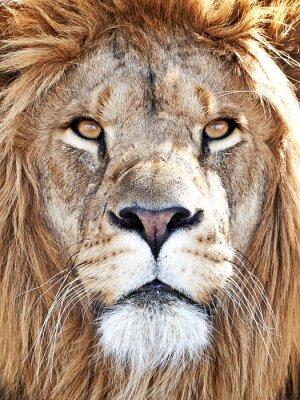 Väggdekor Lion (Panthera leo)