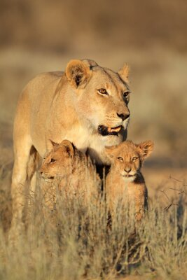 Väggdekor Lioness med unga lejon Eagles (Panthera leo) i början av morgonljuset, Kalahariöknen, Sydafrika.