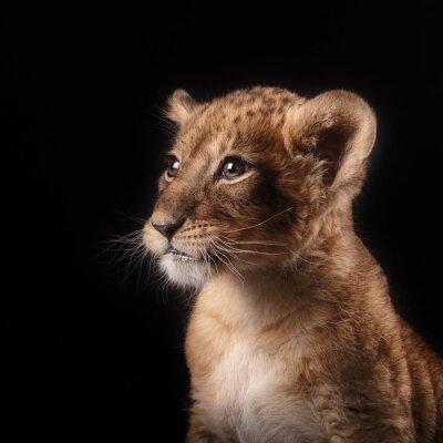 Väggdekor lite lejon unge på svart bakgrund