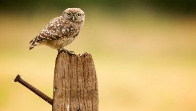Väggdekor Little Owl på en gammal post