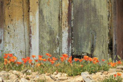 Väggdekor Ljusa orange Kalifornien vallmor växer tillsammans med en riden trästaket.
