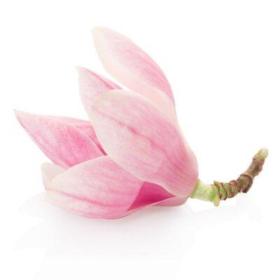 Väggdekor Magnolia, rosa vårblomma på vitt, klippning