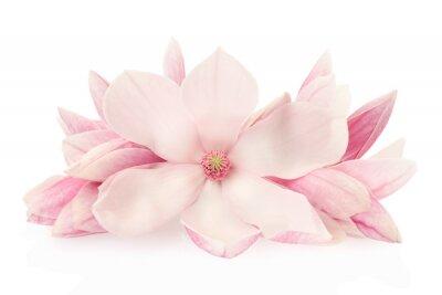 Väggdekor Magnolia, rosa vårblommor och knoppar på vitt, klippning