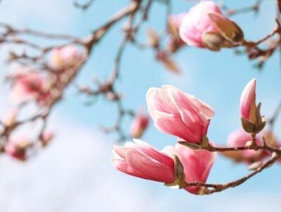 Väggdekor Magnoliaträd blommar på våren