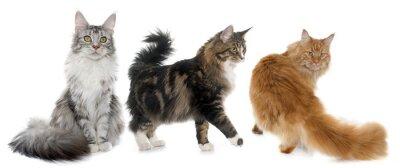 Väggdekor maine coon katter