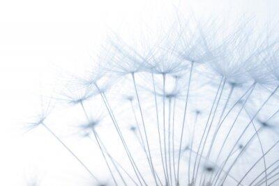Väggdekor makro av en uppblåst fluffig maskros