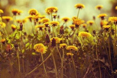 Väggdekor Maskros blommor vid solnedgången mot himlen. Vintage färgkorrigering